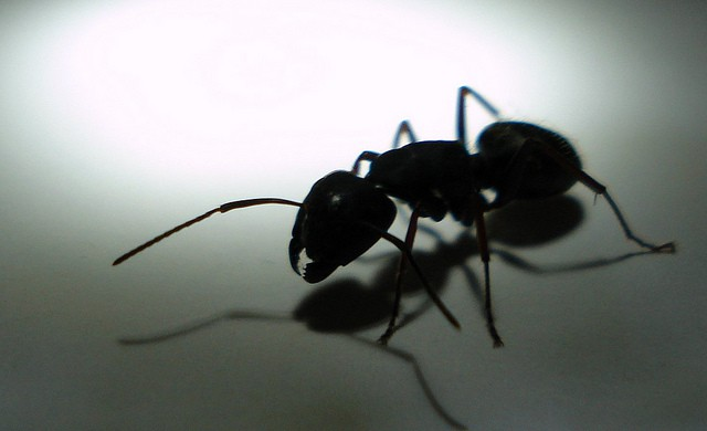 How to get rid of ants in the home garden how to get rid of ants naturally ant ccuart Gallery
