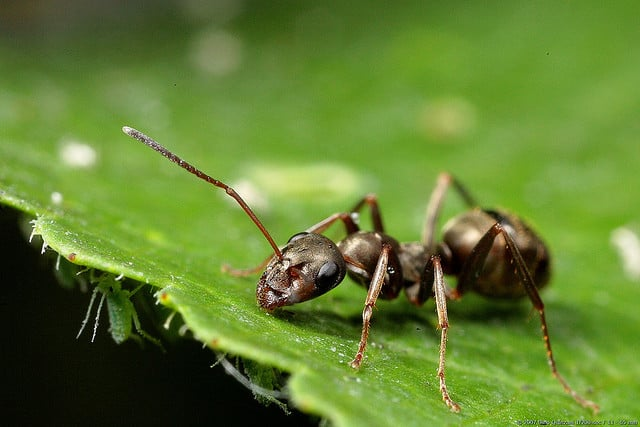 How To Get Rid Of Ants In The Home Amp Garden Pestkilled