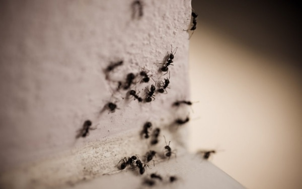 carpenter ant infestation in the house