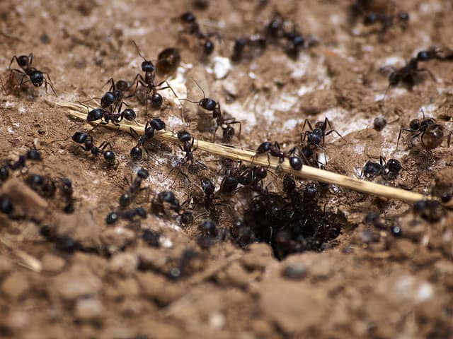 Carpenter Ant Nest : carpenter ants in attic  - Aeropaca.Org