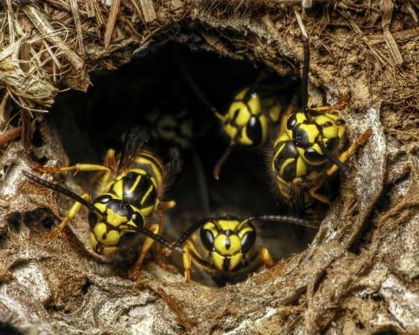 ground nest of yellow jackets