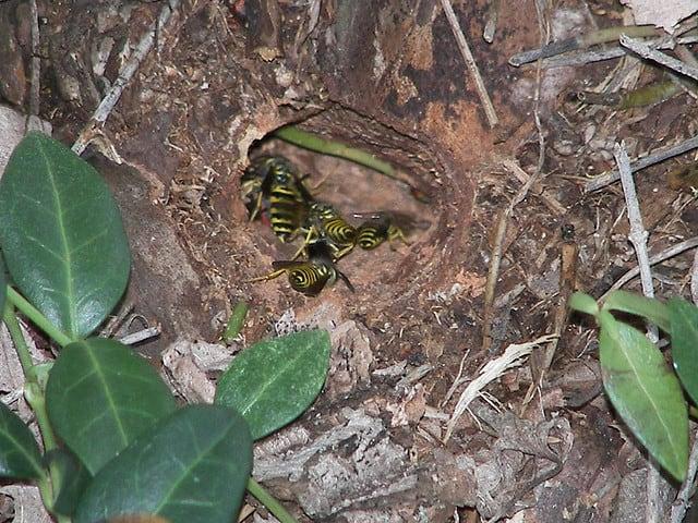 yellow jackets nest