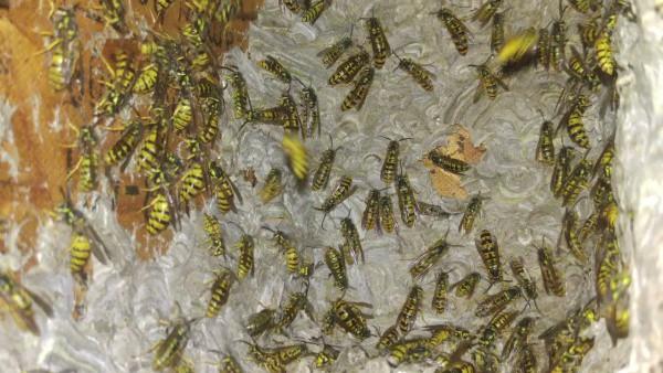 yellow jackets infestation