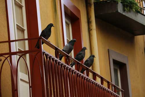 For Those Who Live In A Large Urban Area, The Threat Of Pigeons Is  Constant. Thereu0027s Little More You Can Do Than Simply Discourage Their  Presence.