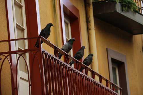 pigeonbalcony