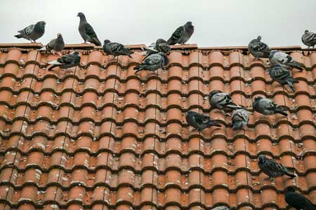 Charmant Pigeonroofdamage