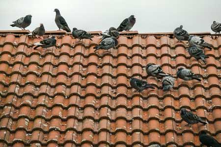 Pigeonroofdamage
