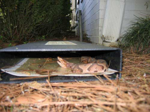 Snake Caught in Trap with Catch Inserts