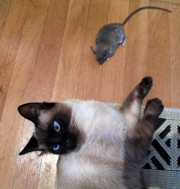 mouse in the house with cat