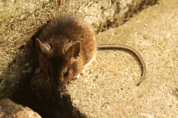 How to Get Rid of Mice The Ultimate Guide for Mice Problems