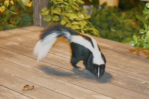 how to get rid of skunks from your yard