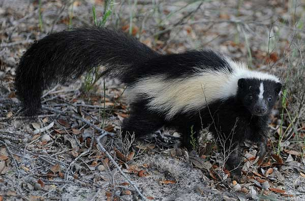 Skunk In Backyard how to get rid of skunks & keep them away permanently - pestkilled