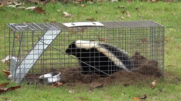 how to trap skunks