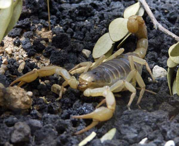 How To Get Rid Of Scorpions Pestkilled