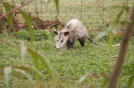 opossum identification and how to get rid of opossums