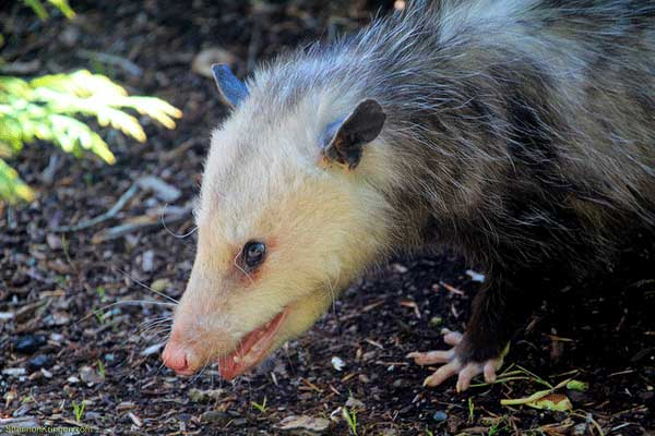 how to get rid of opossums