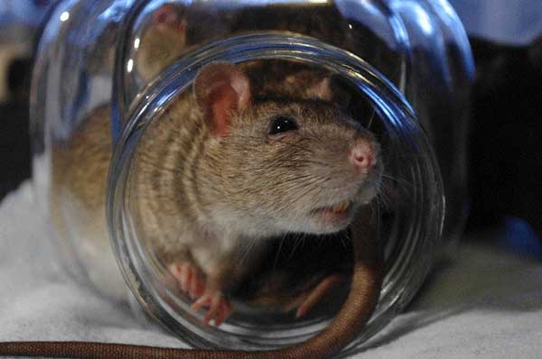 How to get rid of rats rat control extermination ccuart Gallery