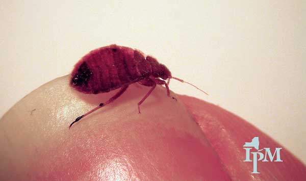 bugs mistaken for bed bugs