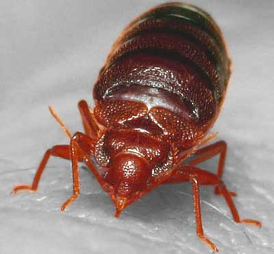 bed bug extermination cost