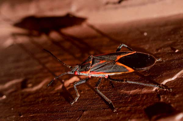 How To Get Rid Of Boxelder Bugs Pestkilled