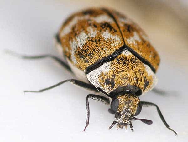 carpet beetles bugs mistaken for bed bugs