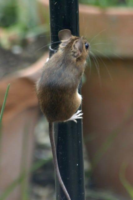 climbing mouse