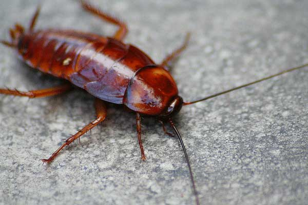do cockroaches bite humans