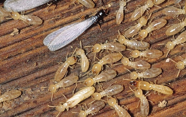 how do termites look