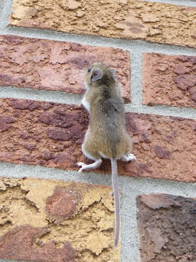 mouse climbs wall