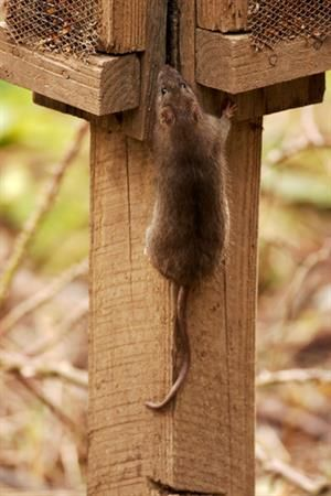 mouse climbs wood