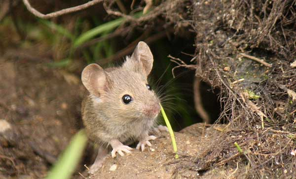 Can Mice Climb Walls All You Need To Know Pestkilled