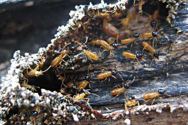 Termites in Trees: Prevention & Treatment Guide