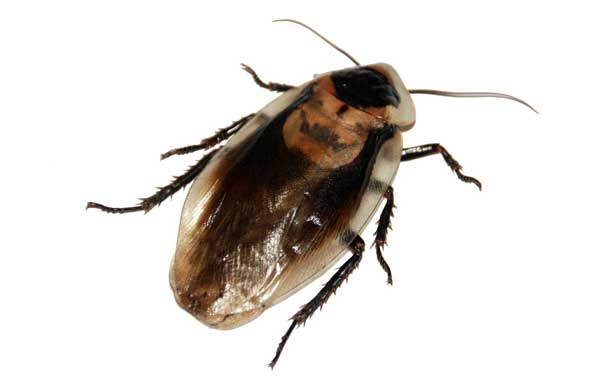 cockroachbomb