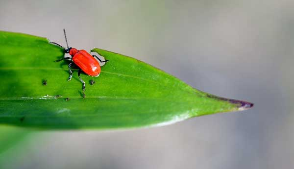 A Red Flour Beetle