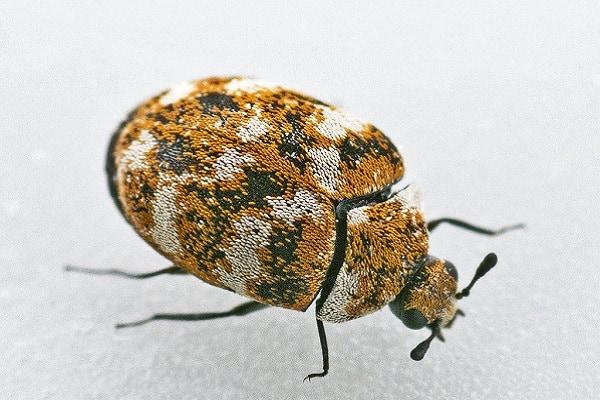 carpet beetle adult