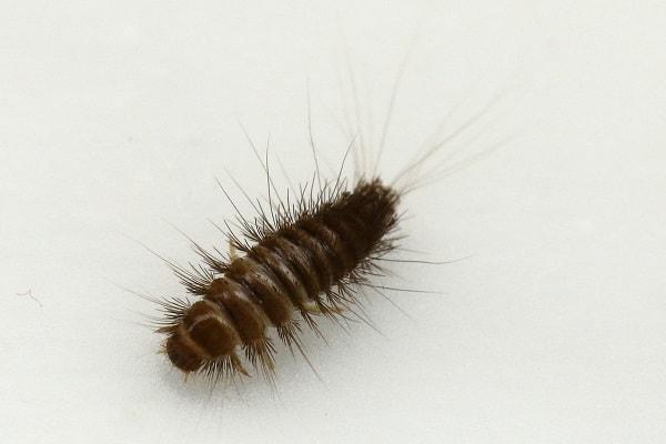 get rid of carpet beetle larvae