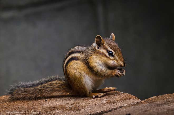 How To Get Rid Of Chipmunks In The House Yard