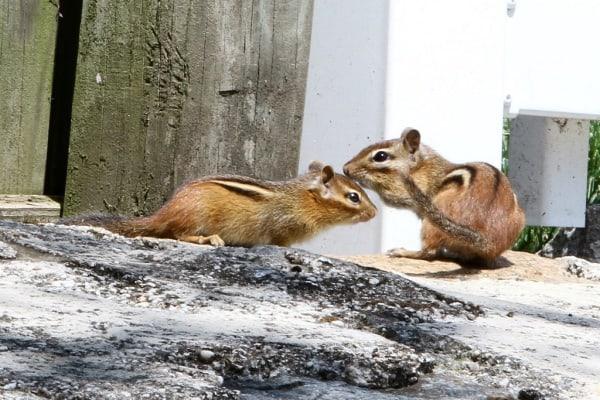 chipmunks in the yard