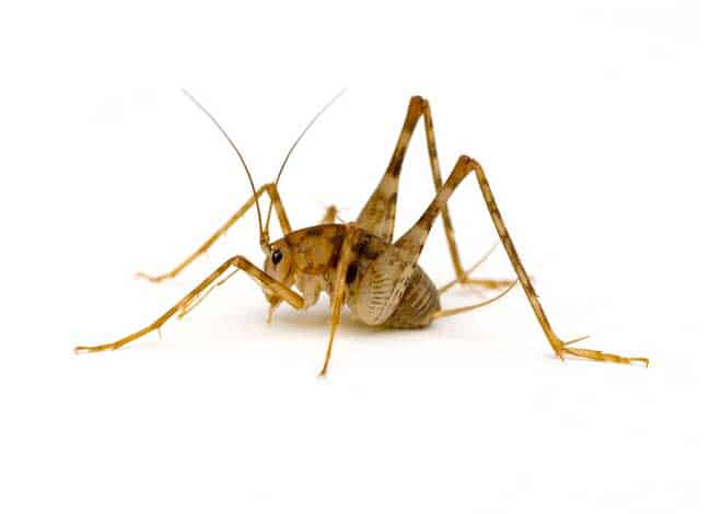 How To Get Rid Of Camel Crickets Save Your Home Pestkilled