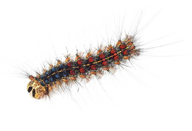 The Western Tent Caterpillar Can Be Identified By Yellow Checkered Pattern Down Back And