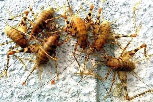 camel crickets infestation