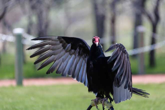 how to get rid of turkey vultures