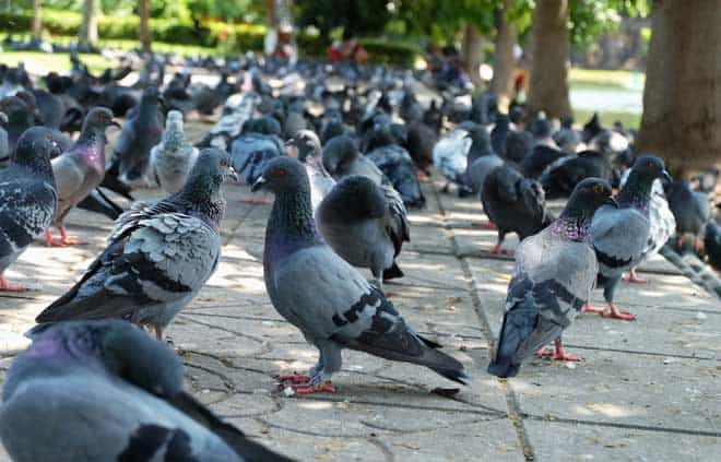 Image result for Get Rid of Pigeons