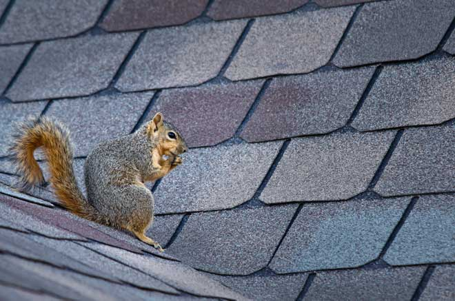 Squirrel Sitting on Home Roof