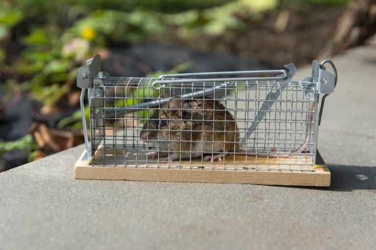 Mouse trap baits