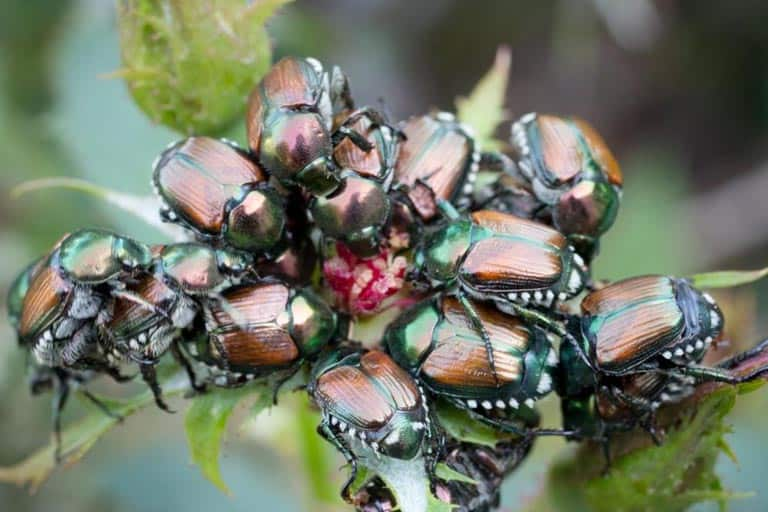 How to Get Rid of Japanese Beetles Effectively