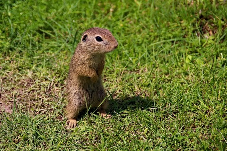 Photo of a gopher on a grass