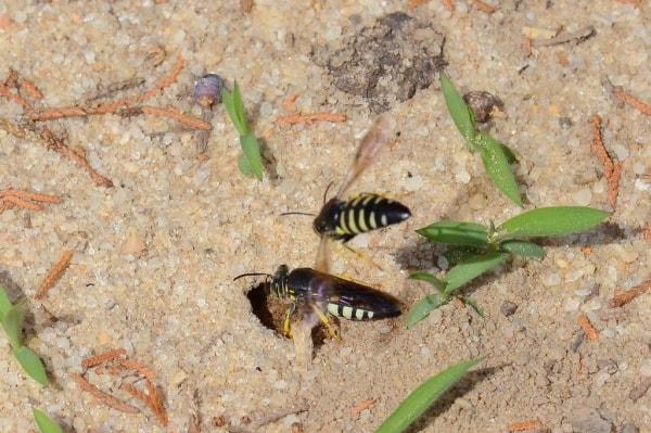 ground bees