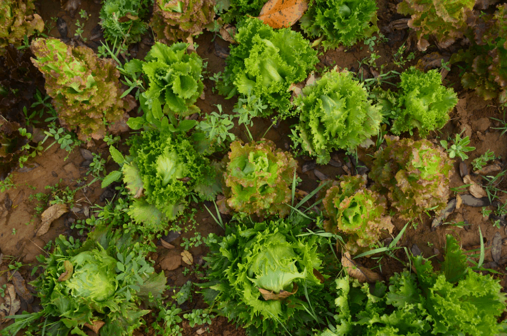 lettuce planted as a rabbit repellent strategy