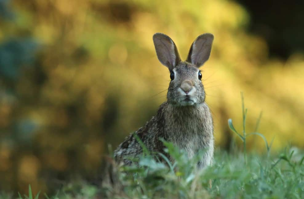 rabbit standing tall in a garden where no rabbit repellent is used